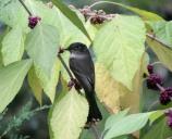 eaphoebe beautyberry thruwindowscreen frontyard johngerwin resize