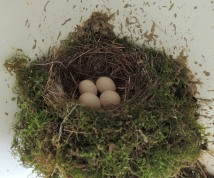 easternphoebe nest4eggs sarahsfrontporch may johngerwin 2 resize