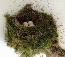 easternphoebe nest4eggs sarahsfrontporch may johngerwin resize