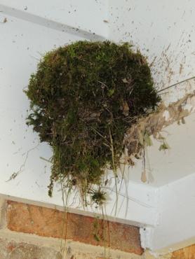 easternphoebe nest sarahsfrontporch nicemoss may johngerwin resize