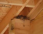 housefinch fem onnest kerrymead resize