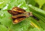 fieryskipper female wingsopen johngerwin resize