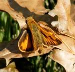 fieryskipper male wingsopen johngerwin resize