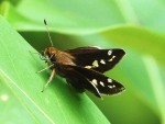 zabulonskipper female wingsopen alliestewart resize
