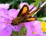 zabulonskipper male wingsopen 1 johngerwin resize